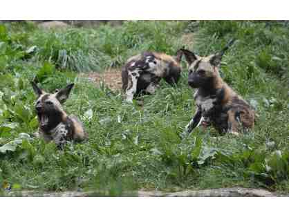 Zoo Knoxville | African Painted Dog Encounter