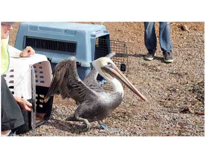 Pelican Release with International Bird Rescue