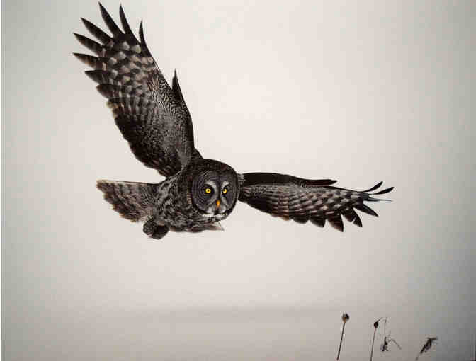 Great Gray Owl Print by Mark Wilson