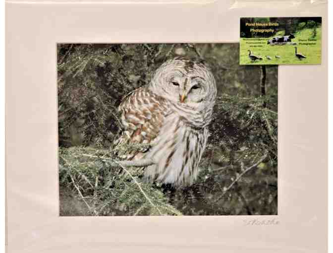 Barred Owl in the Pines - Matted Print - Photo 1