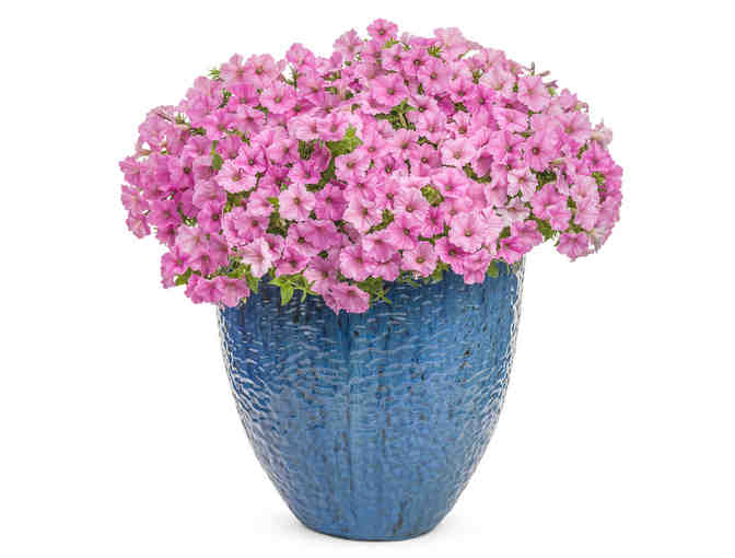 Supertunia Vista Bubblegum Plants for Containers and Landscapes from Proven Winners