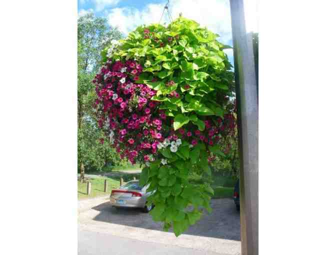 Four Self Watering Municipal Hanging Baskets from Eckert's