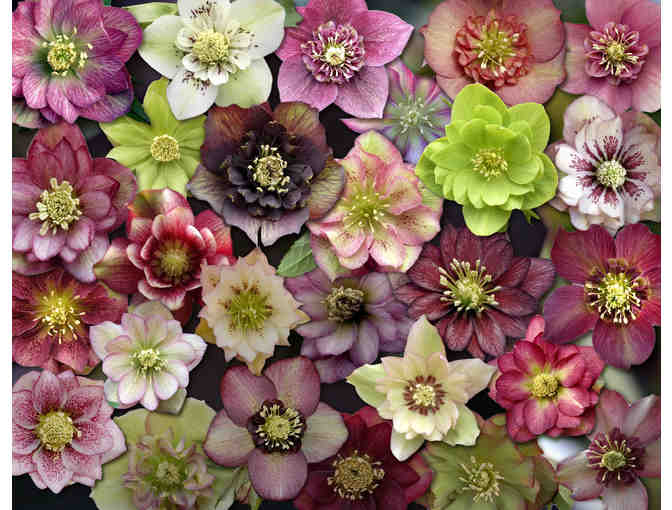 Hellebores & Trilliums from Sunshine Farm and Gardens