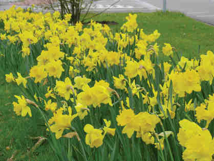 A Whole Season of Daffodils