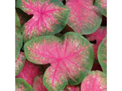 Bold Colorful Caladiums - For Baskets, Containers, or Flower Beds