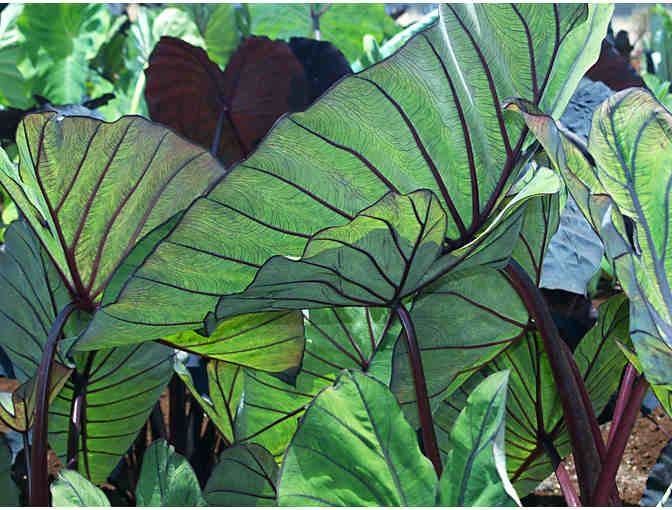 A Collection of Bold Tropical Foliage Plants for Municipal Containers - Photo 4