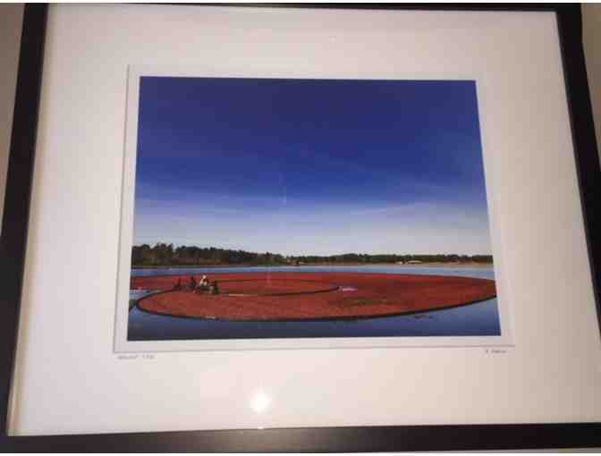 Cape Cod Cranberry Bog - Framed Photograph