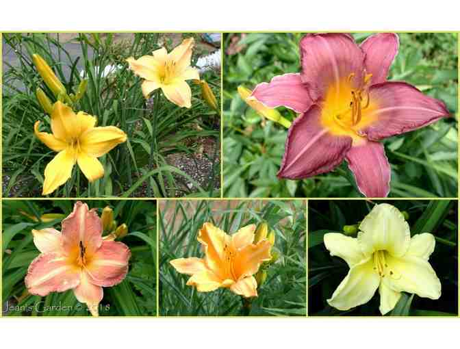 3 Coupons for Barth Daylilies from O'Donals Nursery - Photo 1