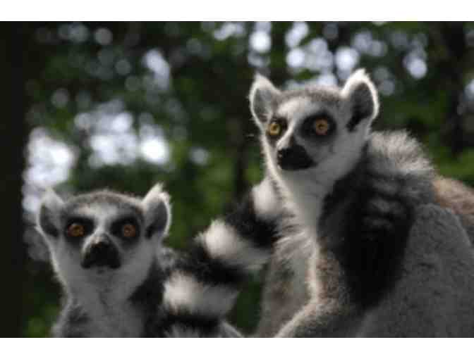 'Lemurs Live!' Tour of the Duke Lemur Center for 2!