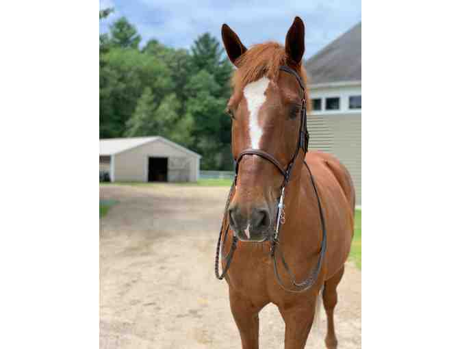 SOLD!  Hello Newman: Thoroughbred Cross
