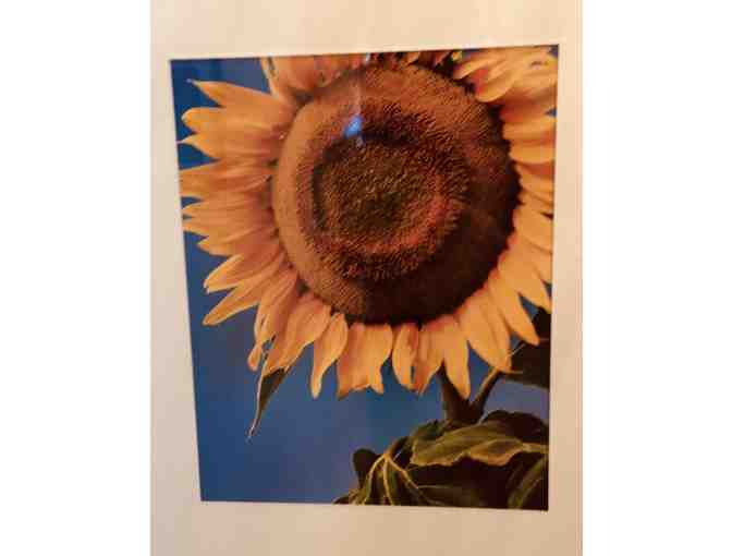 Sunflower Photographs from Nate's Paddock - Kate McAskill