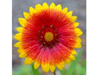 'Gaillardia after the Rain