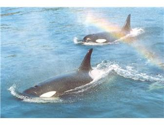 Orcas Island Eclipse Charters: Two(2) Orca Tour Trip Tckts w/$20 Store Credit