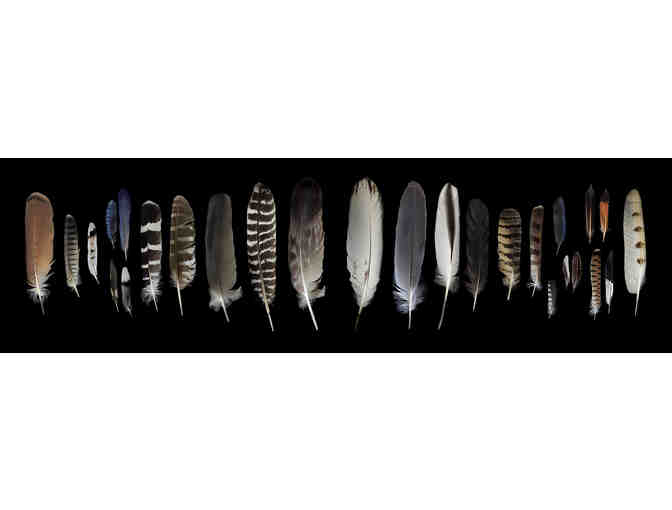 'Feathers from the Point Reyes Region' Framed 20.5' x 72' on Aluminum, by Todd Pickering