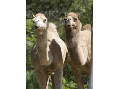 A Behind the Scenes VIP Camel Encounter at RWPZoo