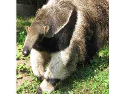 A Behind the Scenes VIP Giant Anteater Encounter