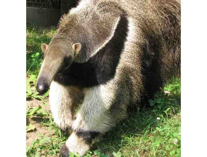 A Behind the Scenes VIP Giant Anteater Encounter - Photo 1