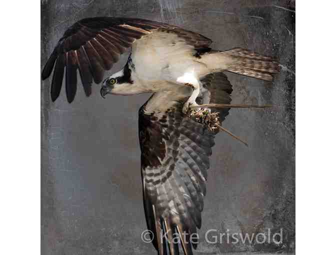 Osprey C-VIII by Kate Griswold