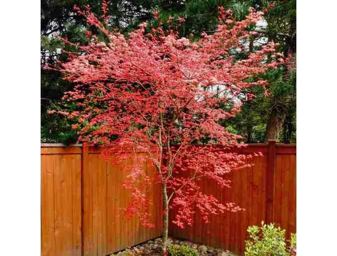 Shin Deshojo  Japanese Maple