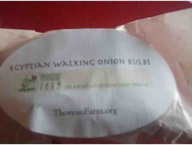 Thoreau Farm Egyptian Walking Onion bulbs