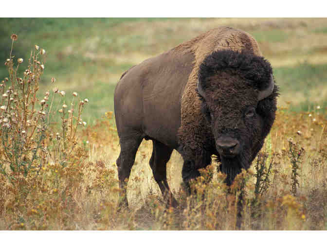 Wyoming Governor's Big Game Bison License